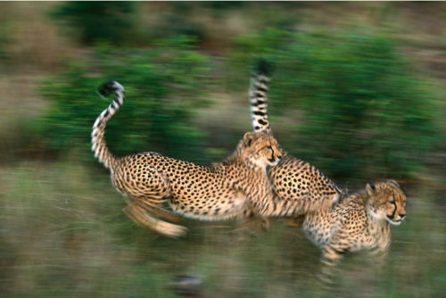 Gerald Hinde, Cheetah at Play, Hinde Youth Foundation, hyf
