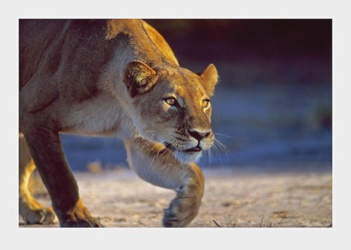 Gerald Hinde, Lioness Stalking, BBC Wildlife Photograph of the Year, Limited edition