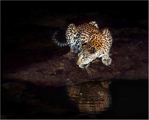 Gerald Hinde, Under the Spotlight, Photography, Mala Mala Game Reserve