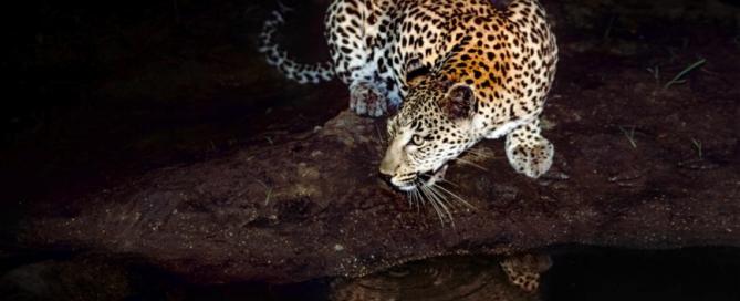 Gerald Hinde, Under the Spotlight, Photography, Mala Mala Game Reserve